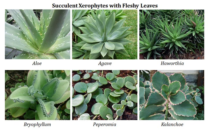 Xerophytes Ecological Adaptations...