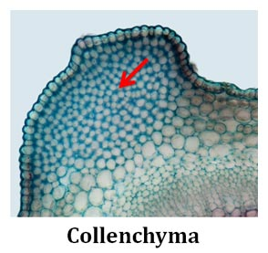 what is collenchyma