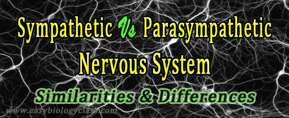 difference between parasympathetic and sympathetic nervous system