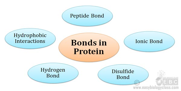 bonds stabilizing protein structure