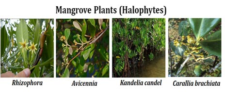 mangrove plants list
