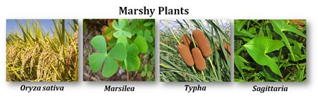 what are marshy plants