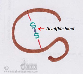 structure of disulphide bond in protein