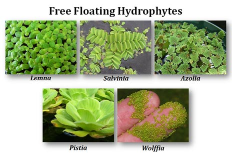 examples of floating hydrophytes
