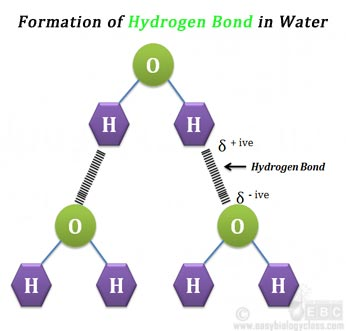 structure of hydrogen bond in water