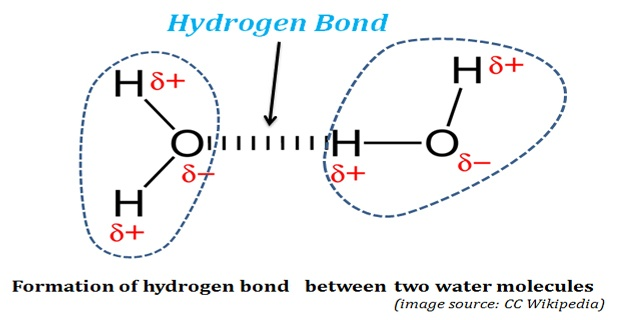 biological significance of hydrogen bonds in water