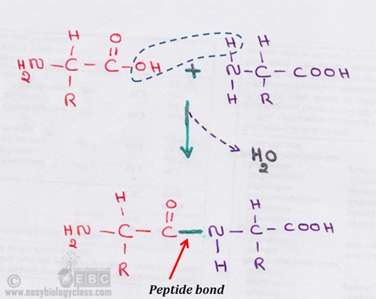 condensation of amino acids