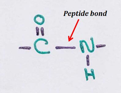 features of peptide bond