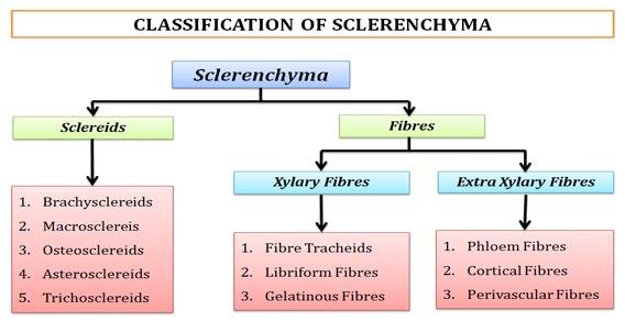 sclerenchymatous tissue ppt