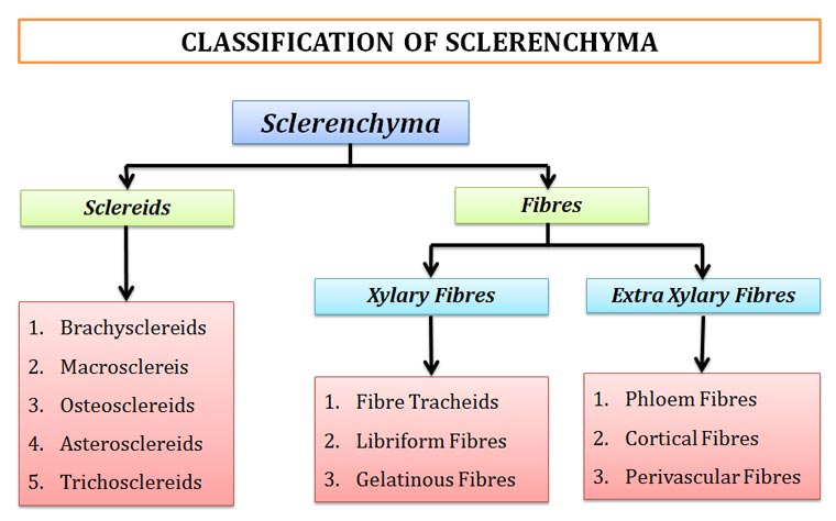 Classification of sclerenchymatous cells in plants