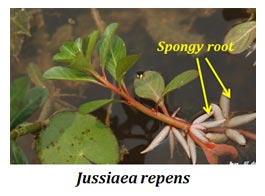 root adaptation in hydrophytes