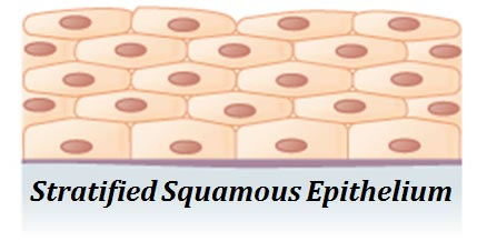 stratified epithelium example
