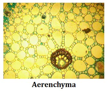 development of aerenchyma