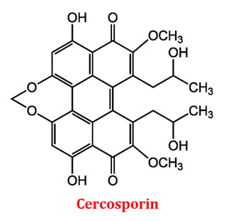 cercosporin is produced by