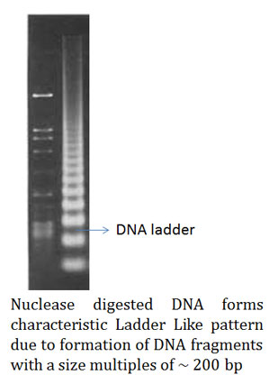 discovery of nucleosome