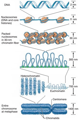 formation of metaphase chromosome
