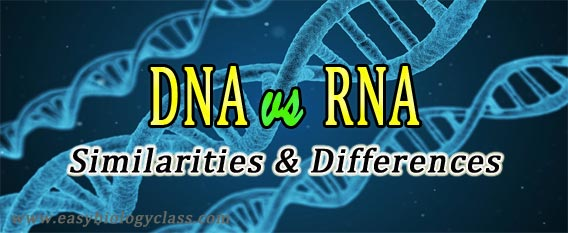 Difference Between DNA And RNA Table Easybiologyclass