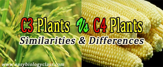 Difference between C3 and C4 Plants (Table) | easybiologyclass