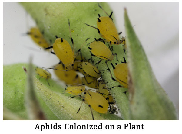 mouth parts of aphids