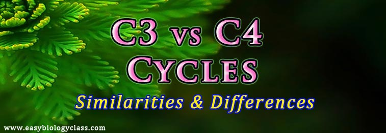 C3 vs C4 Cycles of Photosynthesis