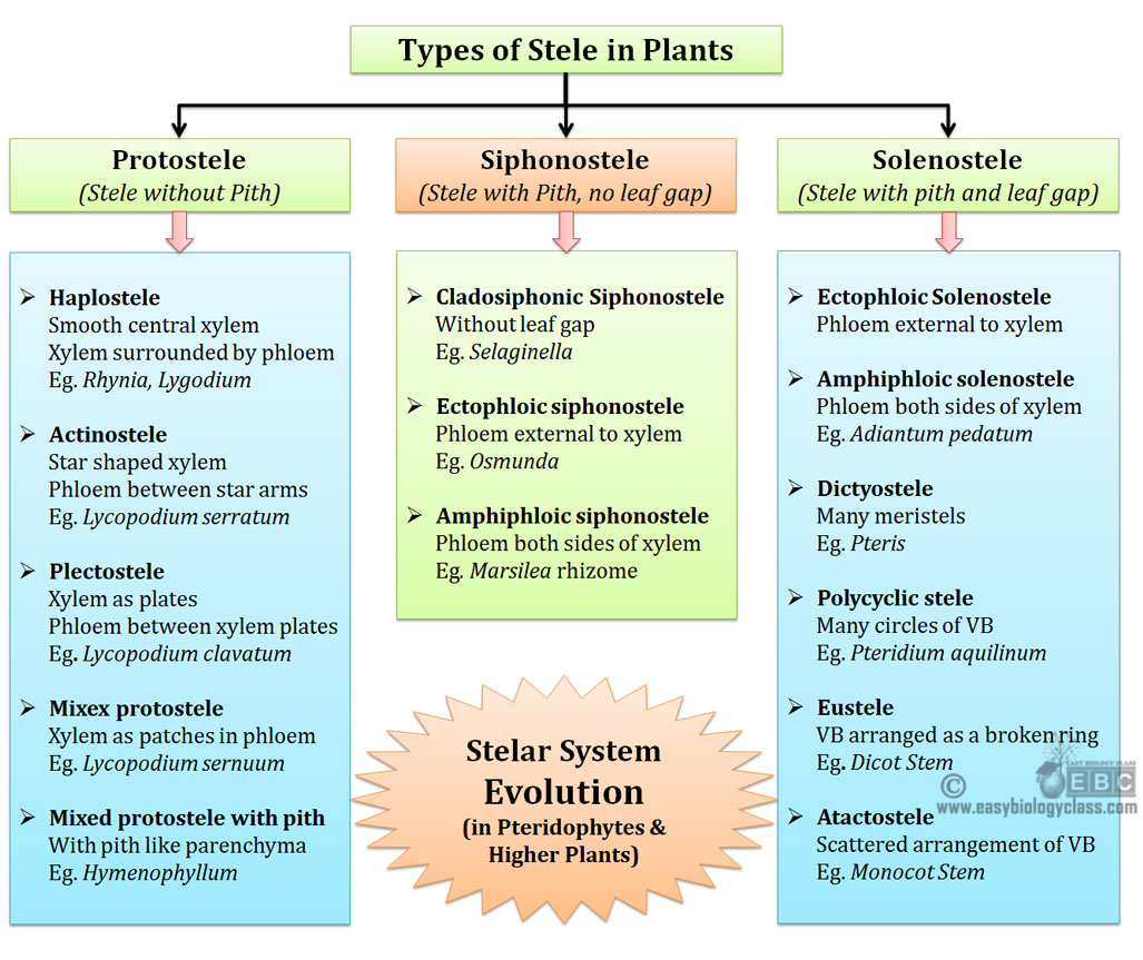 stelar evolution in pteridophytes
