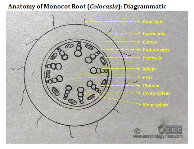 Monocot Root Cross Section