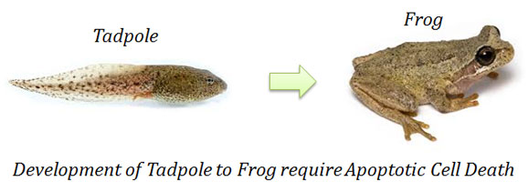 apoptosis and frog metamorphosis