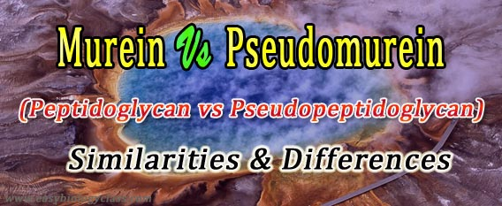 difference murein and pseudomurein