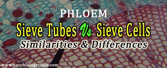 sieve cells and sieve tubes differences