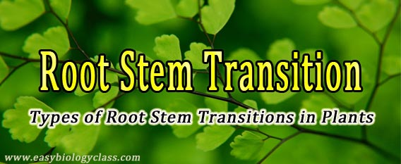 Root Stem Transitions in Plants
