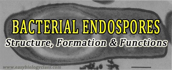 Bacterial Endospore
