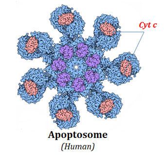 Formation of Apoptosome in Human