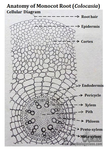 Monocot root cross section structure with ppt easybiologyclass monocot root cross section labelled ccuart Gallery