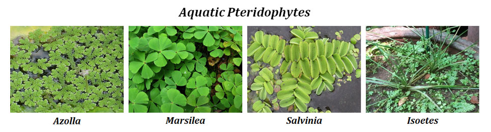 Pteridophytes and Hydrophytes