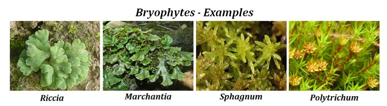 bryophytes vs pteridophytes  comparison