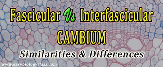 Fasccular and Interfascicular Cambia
