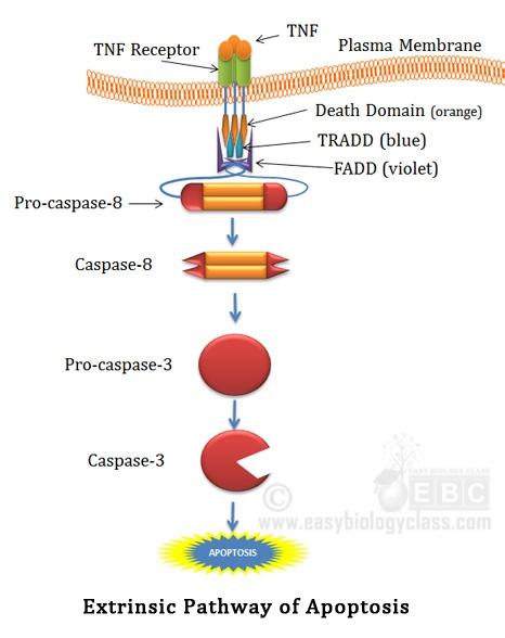 Receptor Mediated Apoptosis Pathway