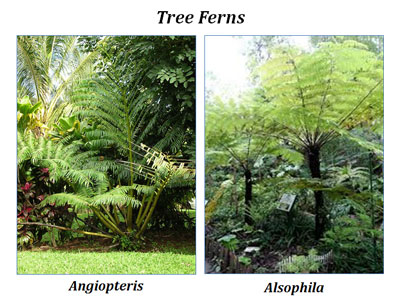 What are Tree Ferns