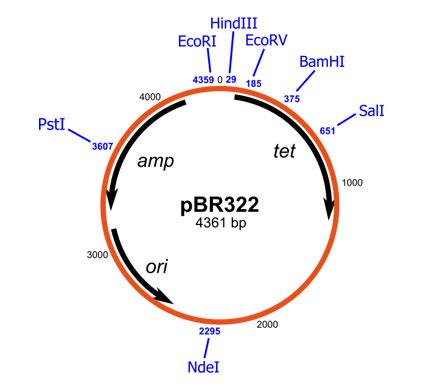 MCQ on pBR 322