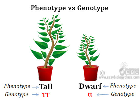 Define genotype