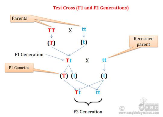 Why we do test cross in genetics