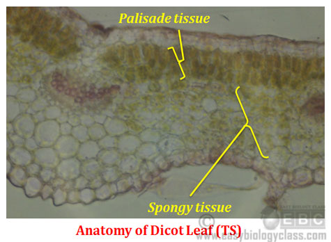 Anatomy of Dicot Leaf Diagram difference between dicot and monocot leaf easybiologyclass