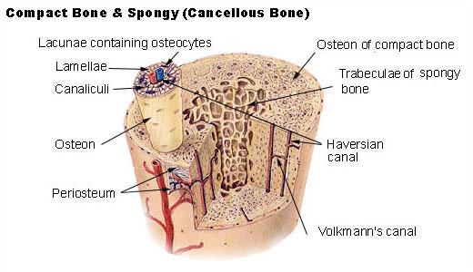 Compact vs Spongy Bone