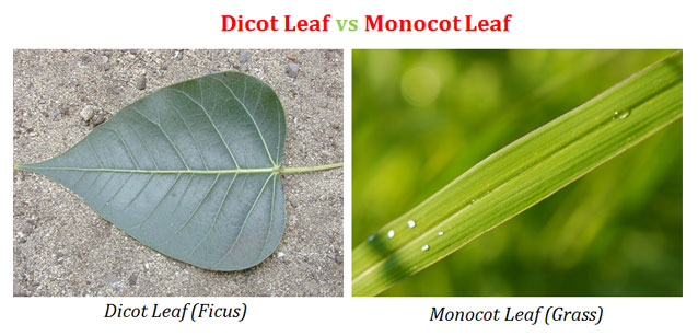 Difference between stomata of monocot and dicot plants.