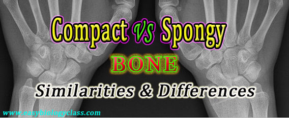 Compare Compact and Spongy Bone