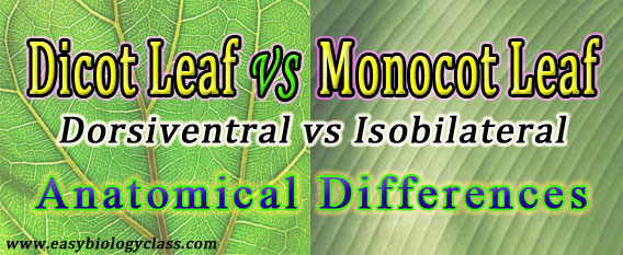 Difference Between Dicot And Monocot Leaf Easybiologyclass