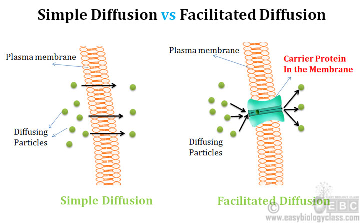 Difference Simple and Facilitated Diffusion