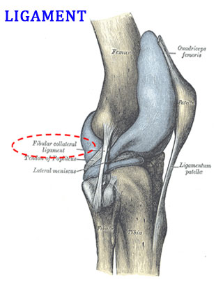 Difference between Tendon and Ligament | easybiologyclass