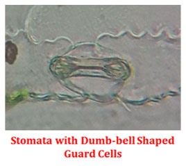 Guard cells in monocot stomata