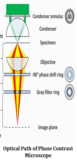 Light Path of Phase Contrast Microscope